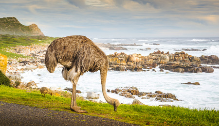 struthio camelus: Female ostrich (Struthio Camelus) and chick grazing by the road at the Cape of Good Hope, Cape Peninsula, South Africa Stock Photo