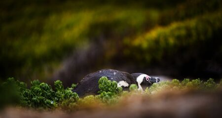 jackass: Shy African Penguin hiding amongst vegetation in Cape Peninsula, South Africa