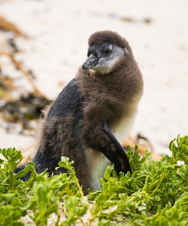 molting: Molting African Penguin Chick in Boulders Beach, South Africa