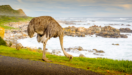 ostrich chick: Female ostrich (Struthio Camelus) and chick grazing by the road at the Cape of Good Hope, Cape Peninsula, South Africa Stock Photo