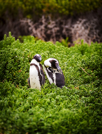 jackass: A pair of African Penguins (spheniscus demersus) in South Africa