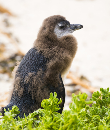 molting: Moulting Juvenile African Penguin in Boulders Beach, South Africa Stock Photo