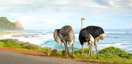 ostrich chick: Panorama of ostrich family along the Cape of Good Hope, Cape Peninsula, South Africa