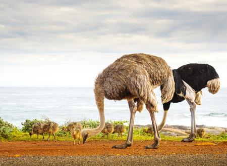 struthio camelus: Ostrich (Struthio Camelus) family walk along the Cape of Good Hope, Cape Peninsula, South Africa