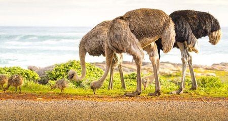 ostrich chick: Ostrich (Struthio Camelus) family walk along the Cape of Good Hope, Cape Peninsula, South Africa