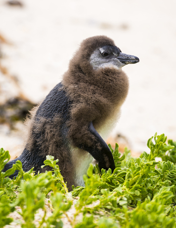 Molting African Penguin Chick in Boulders Beach, South Africa