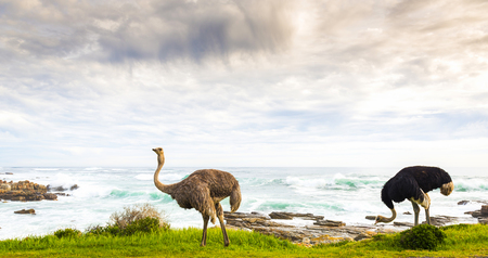 struthio camelus: Male and female ostrich pair beside ocean coastline at the Cape of Good Hope, Cape Peninsula, South Africa Stock Photo