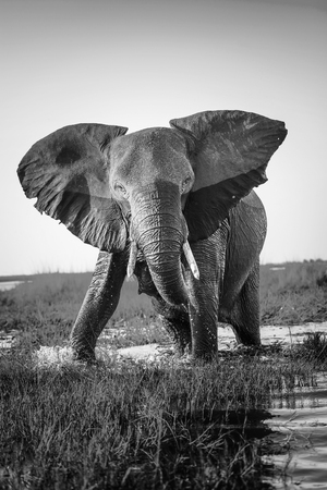 Elephant half wet in sunset light in Africa getting ready to charge in black and white