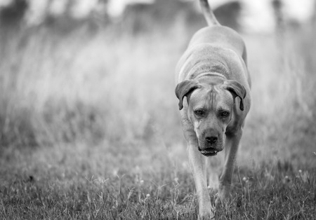boerboel dog: Boerboel dog or South African Mastiff walking through grass in black and white