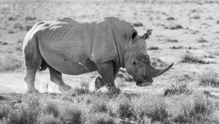 White Rhino or Rhinoceros while on safari in Botswana, Africa in black and white Stock Photo