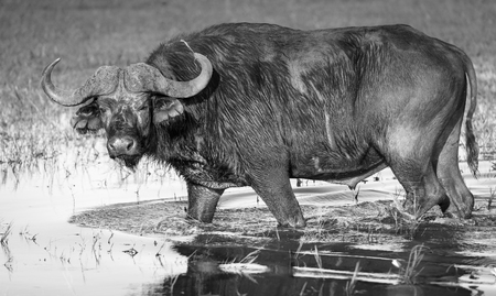 Buffalo in the wild on the Chobe River, Botswana in black and white