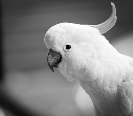 Cheeky cockatoo parrot bird in the Australian bush in black and white