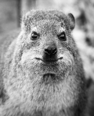 락 오소리, Hermanus, 남아프리카 공화국, 흑백 스톡 콘텐츠