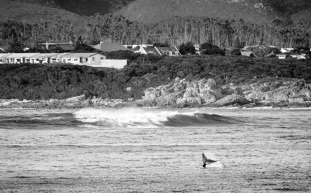 Whale flicks tail into air for whale watchers at Hermanus in South Africa in black and white Stock Photo