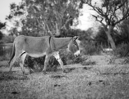 Donkey walking freely in a village in Botswana, Africa in black and white