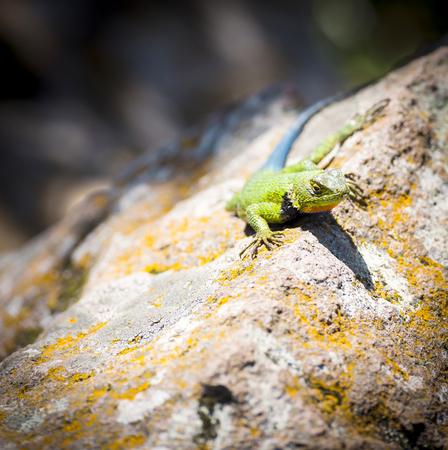 Malachite Spiny Lizard (Sceloporus Malachiticus) sitting on a rock in Central America