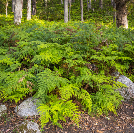 wilsons promontory: Green forest ferns in Wilsons Promontory National Park, Gippsland, Victoria, Australia