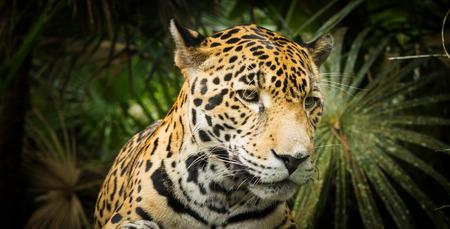 Beautiful Jaguar cat (Panthera Onca) in close up Stock Photo