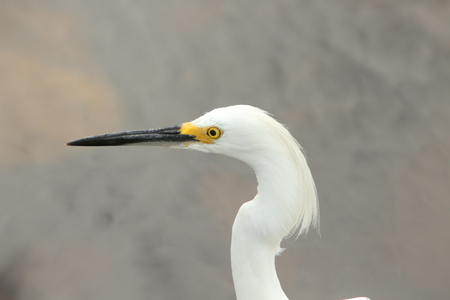 egret: Great Egret Stock Photo