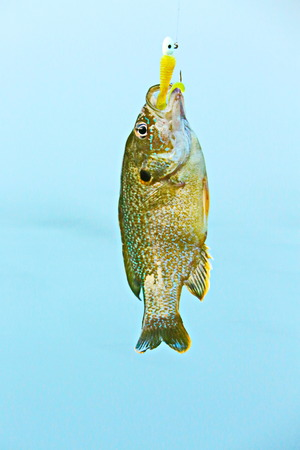 sunfish: Fish Stock Photo