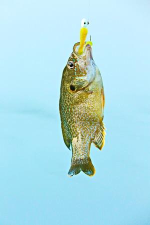 bluegill: Fish Stock Photo