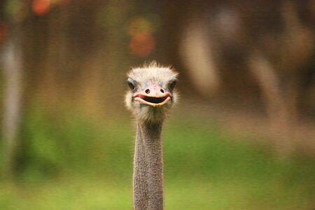 flightless bird: Ostrich