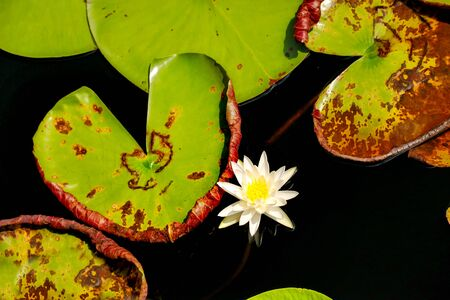 lily pads: Lily Pads wih Flower