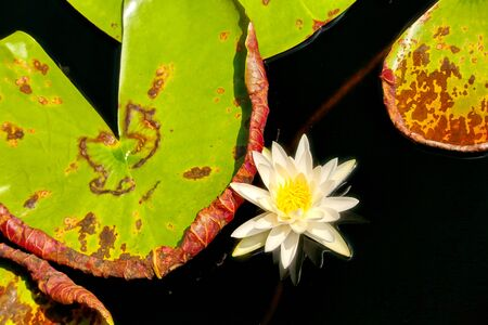 lily pad: Flower - Lily Pad Stock Photo