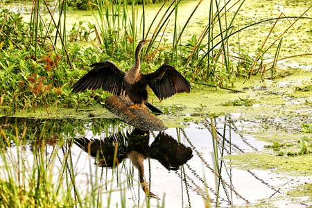 swamp: Swamp Bird Stock Photo