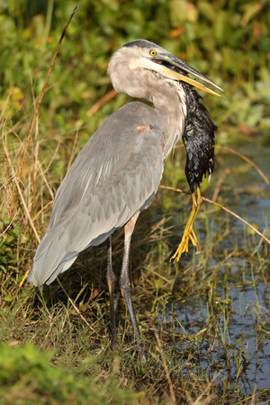 great: Great Blue Heron Stock Photo