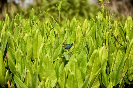 swampland: Purple Gallinule - Swampland Bird