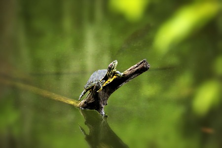 sunning: Turtle Sunning on a Tree limb Stock Photo
