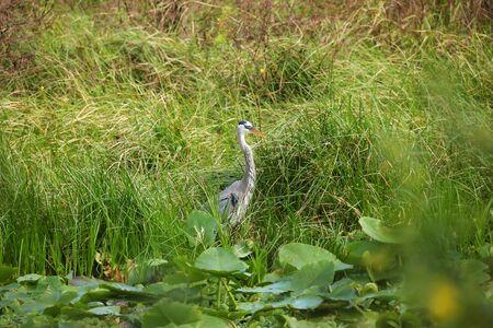heron: Great Blue Heron Stock Photo
