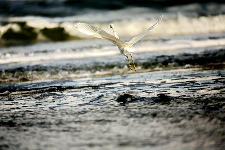 egrets: Bird Surfing the waves