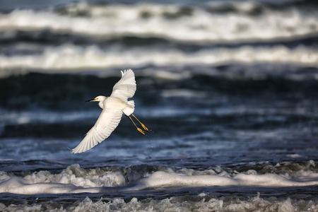 egrets: Great Egret in Flight