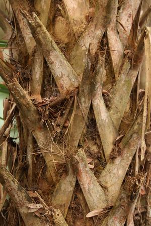 bark palm tree: Palm Tree with spiky bark Stock Photo