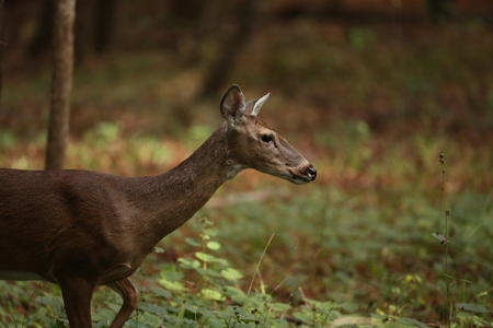 white tailed: White Tailed Deer passing by