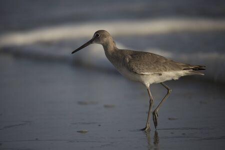 shore: Shore Bird