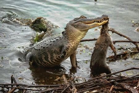 alligators: Alligator Feeding on a Raccoon