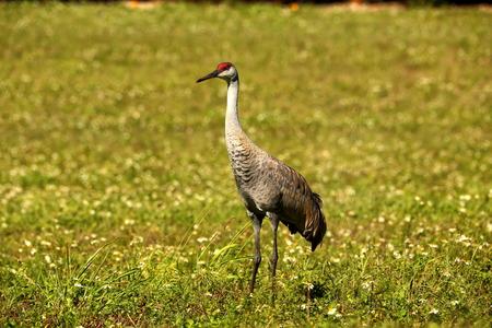sandhills: Sandhill Crane in a Field
