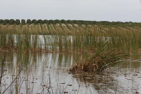 cattails: Swamp with Orange grove in background