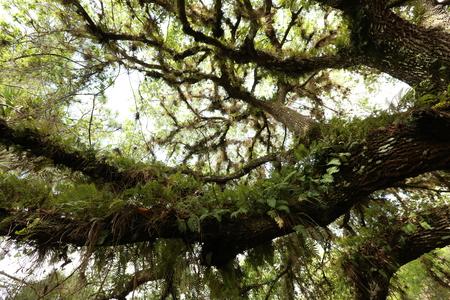 helechos: Helechos en rama de un árbol