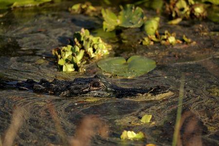 Alligator on the move Stock Photo