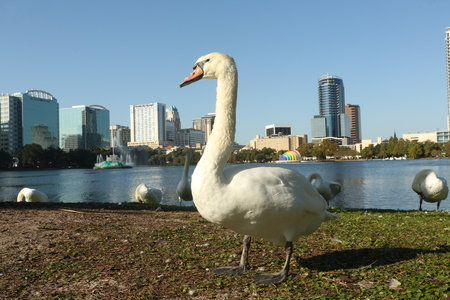 Swan at Lake Eola Orlando, Florida