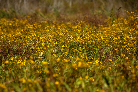 Yellow Flowers Field