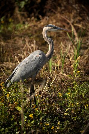 Great Blue Heron in the Marshlands Stock fotó