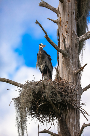 Great Blue Heron Resting in a Nest Stock fotó