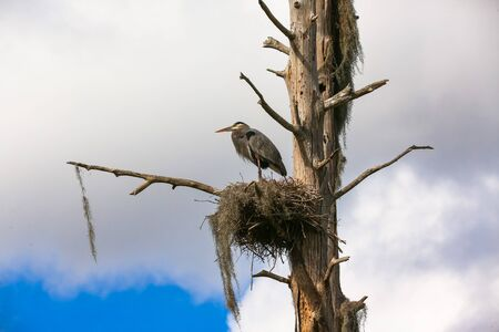 Great Blue Heron Perched in a Nest Stock fotó