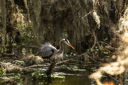 Great Blue Heron Courting Stock fotó