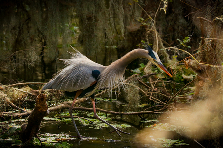 Great Blue Heron in the Swamp Stock fotó